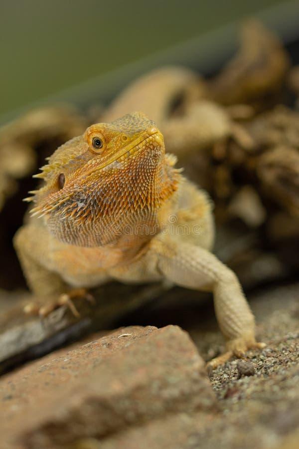 Pogona или бородатый дракон стоковая фотография