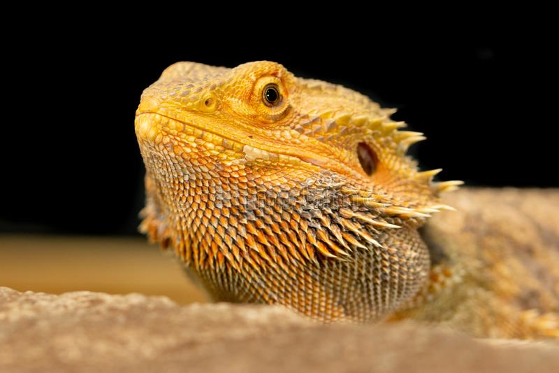 Pogona или бородатый дракон стоковые изображения
