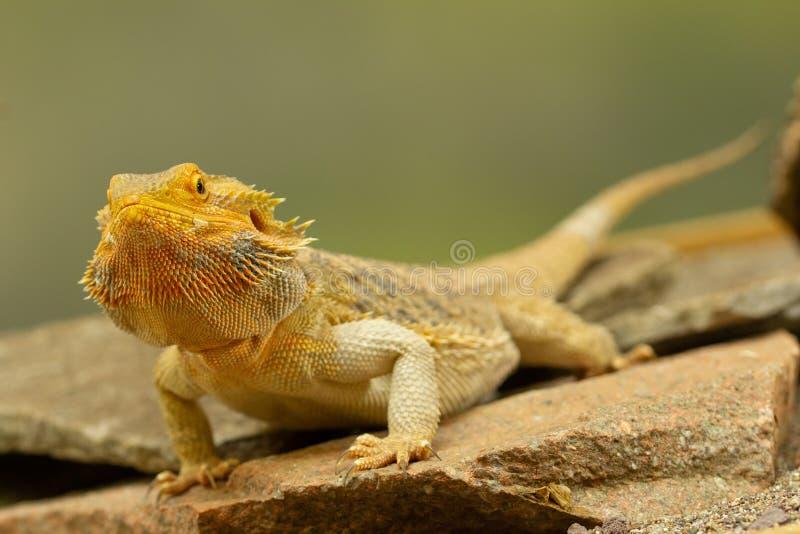 Pogona или бородатый дракон стоковое фото