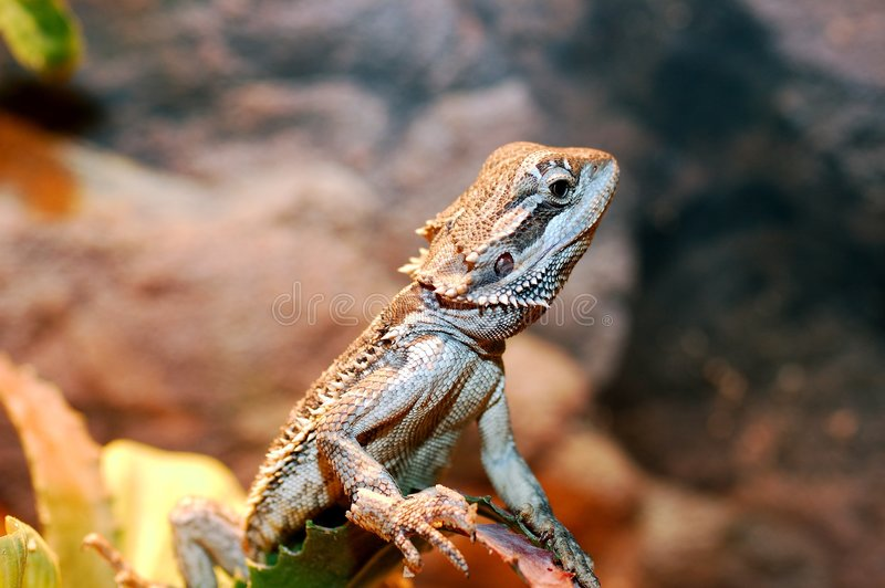 Pogona vitticeps, Australische gebaarde draak. royalty-vrije stock foto's