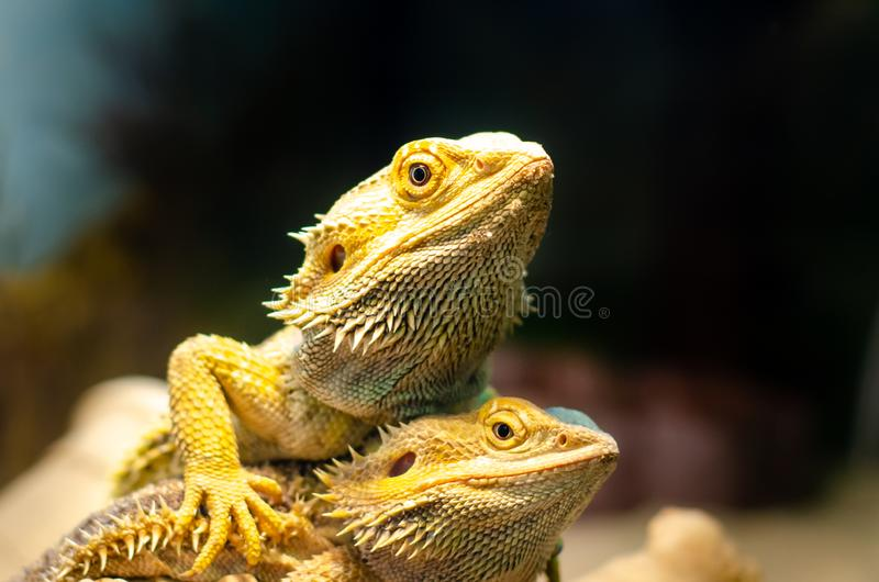 Pogona vitticeps, the central or inland bearded dragon, is a species of agamid lizard occurring in a wide range of arid to stock images