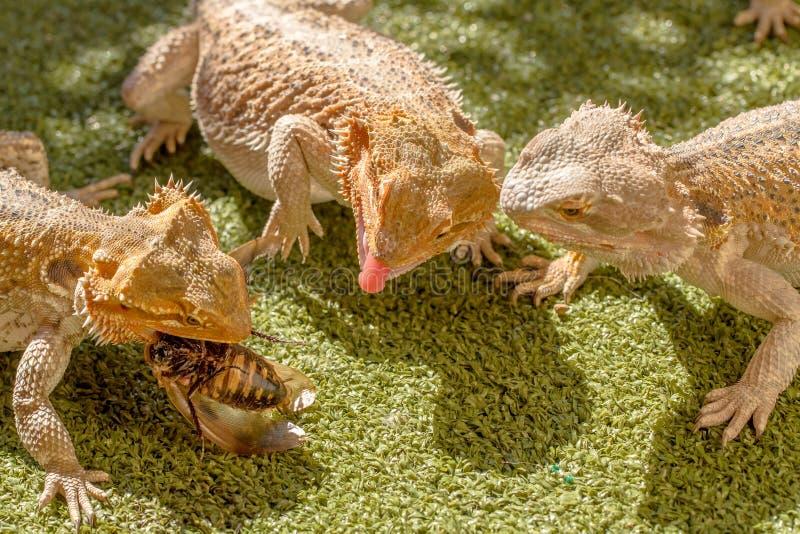 Lizards eating stock photos