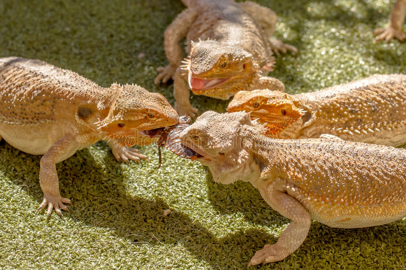 Reptiles fighting royalty free stock photography
