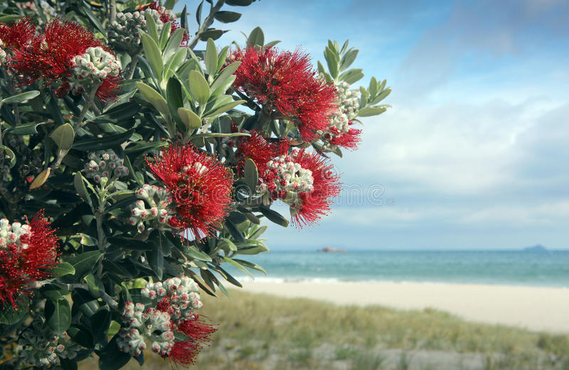 Pohutukawa树红色开花沙滩 库存照片