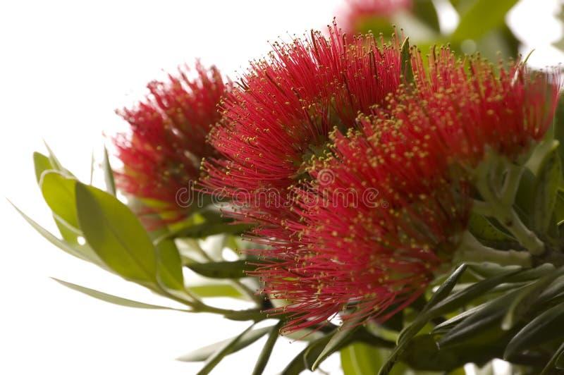 Pohutukawa - árbol de navidad de Nueva Zelandia. fotografía de archivo