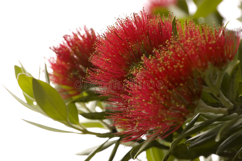 Pohutukawa - árvore de Natal de Nova Zelândia. fotografia de stock