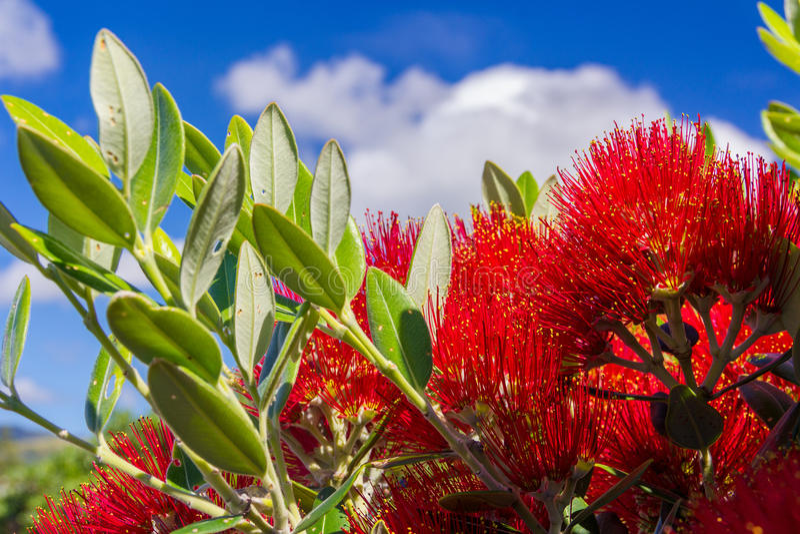 Pohutukawa - χριστουγεννιάτικο δέντρο της Νέας Ζηλανδίας με τα κόκκινα λουλούδια στοκ εικόνα