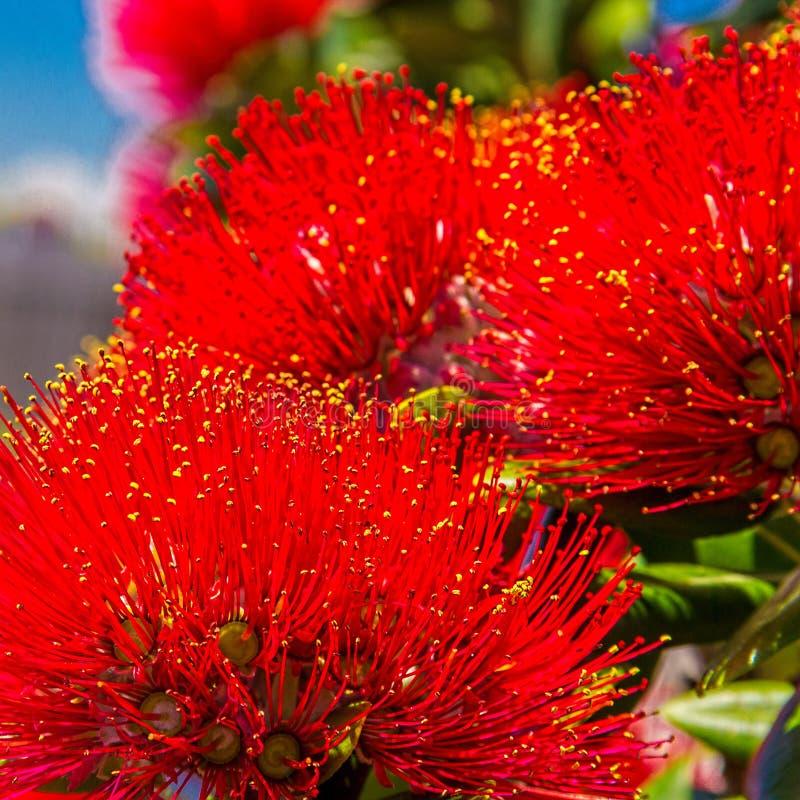 Pohutukawa - рождественская елка Новой Зеландии с красными цветками стоковое фото