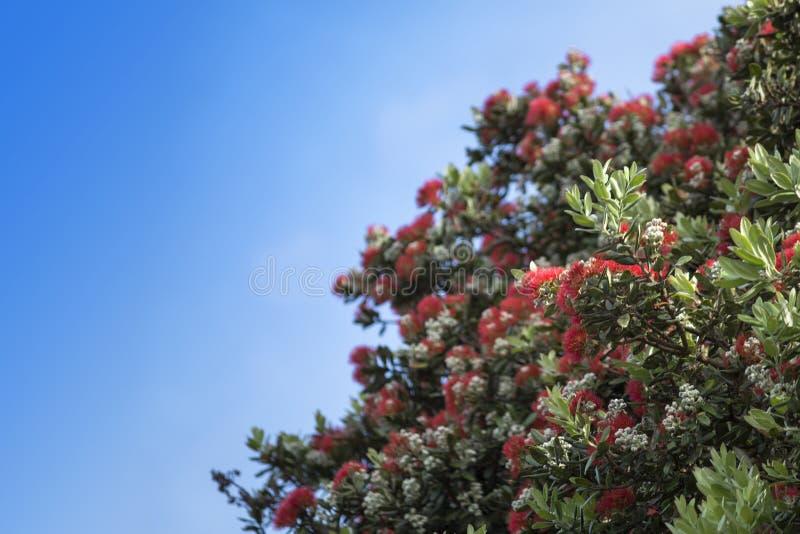Pohutukawa - рождественская елка Новой Зеландии стоковые фотографии rf