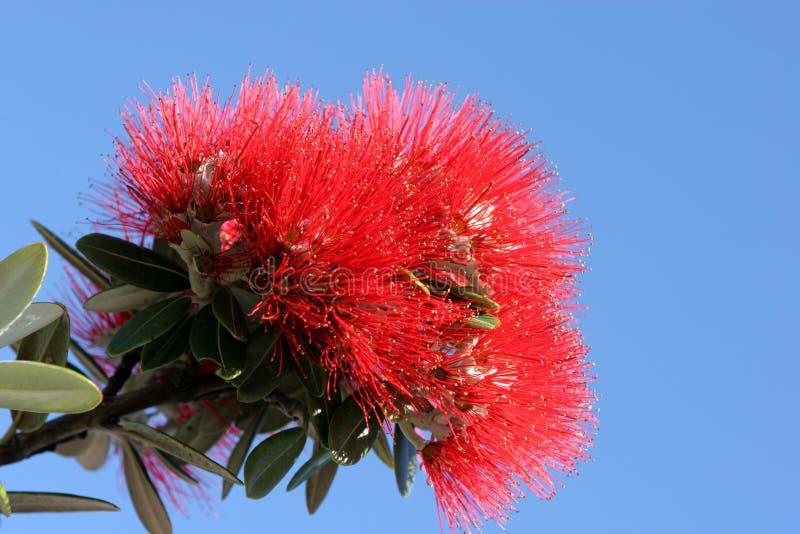 Pohutukawa Blume lizenzfreie stockbilder