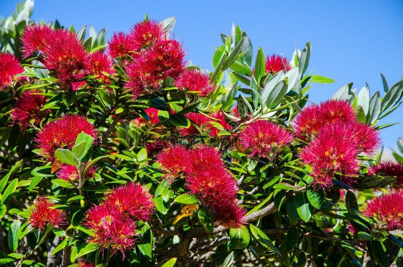 Pohutukawa, choinka przy Te Whara śladem z niebieskim niebem w nad Whangarei Przewodzi, Northland, Nowa Zelandia obraz royalty free