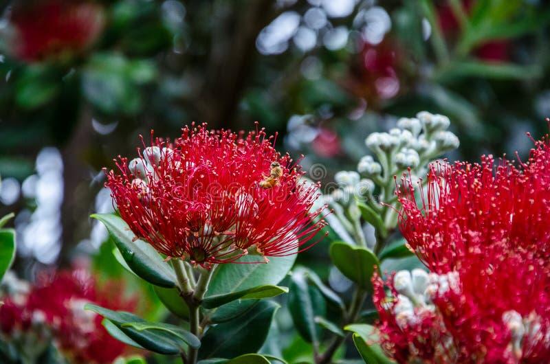 New Zealand Native Christmas Tree Stock Image