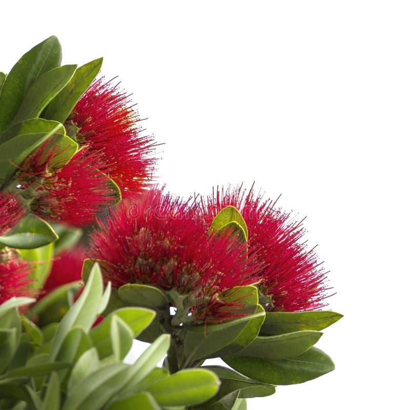 Pohutukawa, New Zealand Christmas Tree stock image