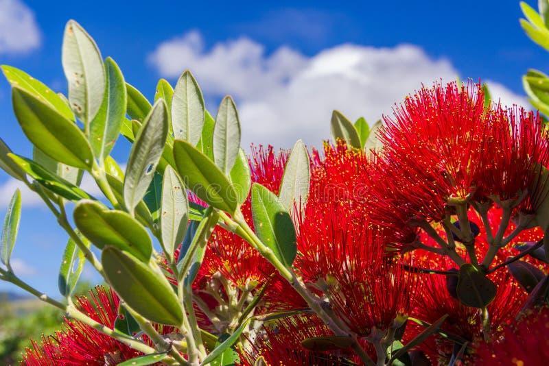 Pohutukawa, Nowa Zelandia choinka z czerwonymi kwiatami - obraz stock