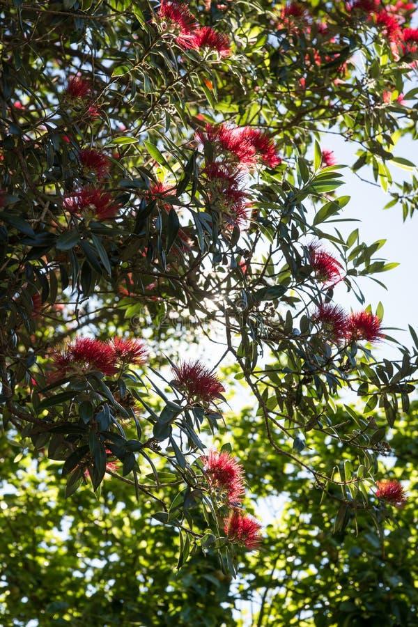 Pohutukawa träd royaltyfria foton