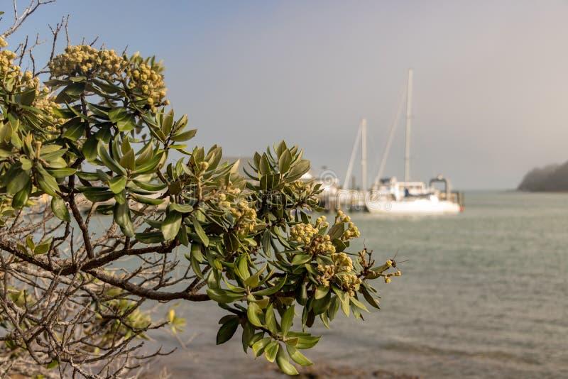 Pohutukawa träd och Oceanside i Paihiaen arkivfoto