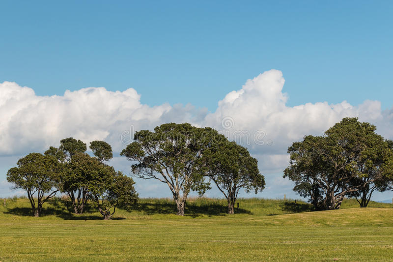 Pohutukawa trees growing on meadow. With copy space stock image