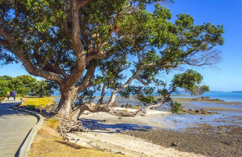 Pohutukawaboom bij Omana-Strand Auckland Nieuw Zeeland stock foto
