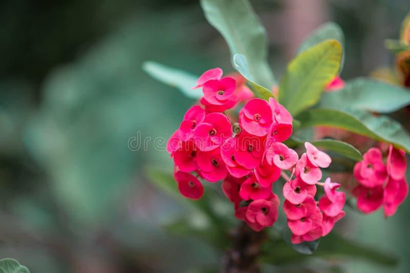 Poi Sian flower, bright pink, beautiful green leaves. Poi Sian flower bright pink beautiful green leaves stock photo