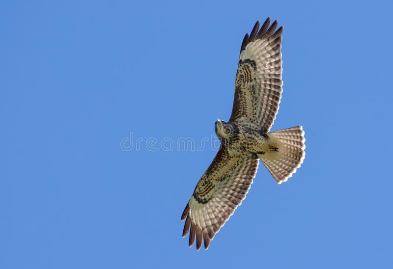 Poiana comune in volo sotto cielo blu fotografia stock