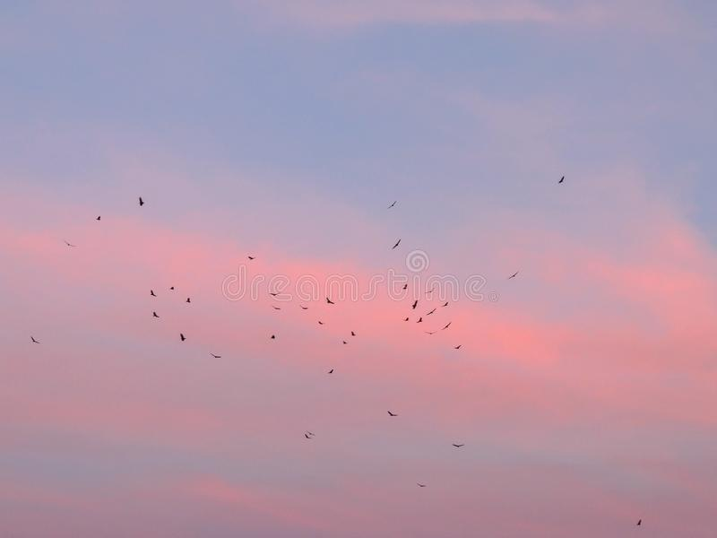 Poiane del Cathartidae di aves di aura del Cathartes degli avvoltoi di Turchia che salgono al tramonto vicino alla st George Utah fotografia stock