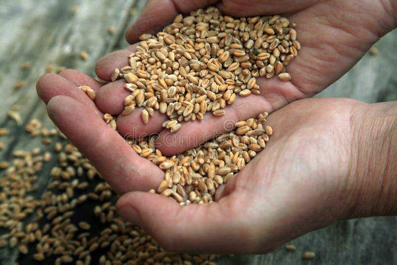 Poignée de blé images stock