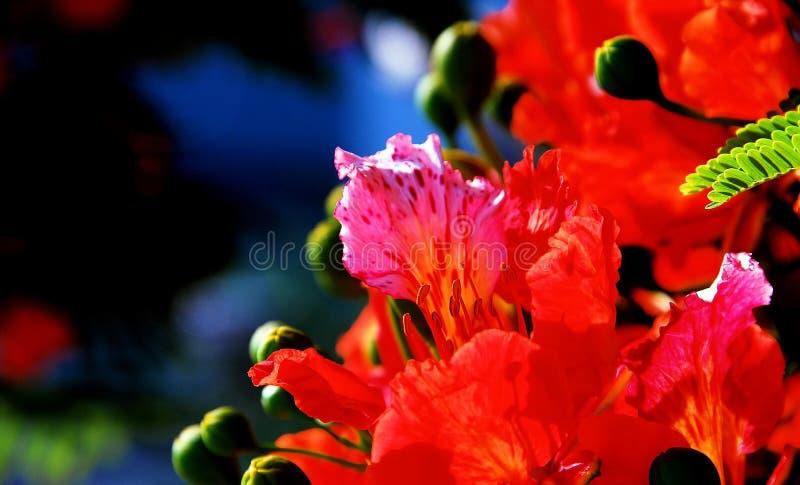 poinciana för 5 blommor arkivfoto