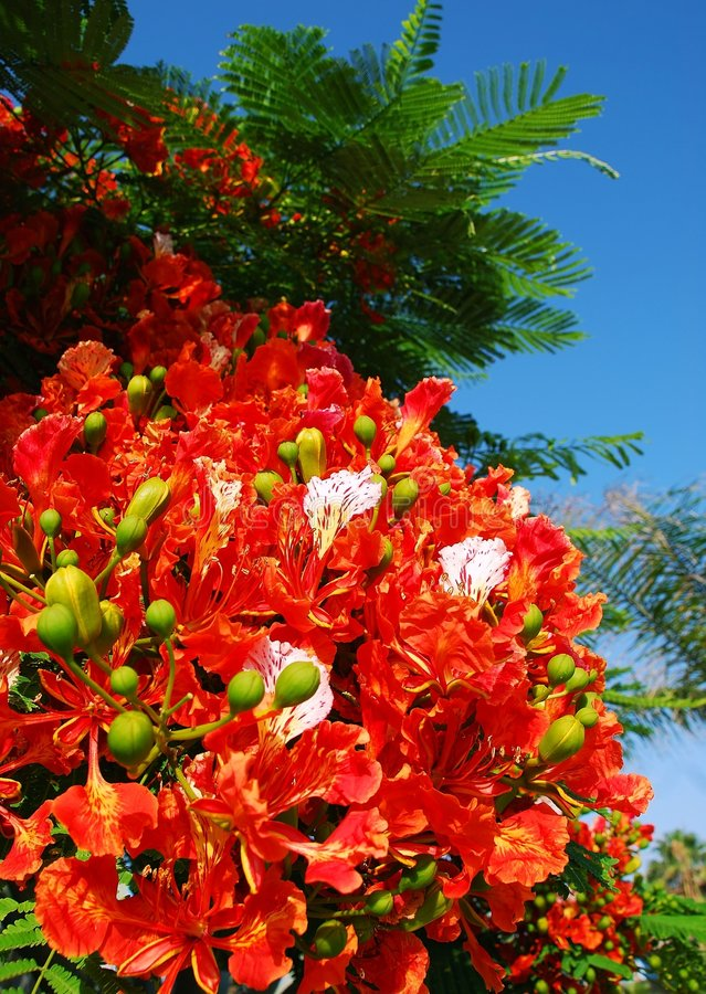 Download Poinciana flowers stock photo. Image of regia, feathery - 5264076