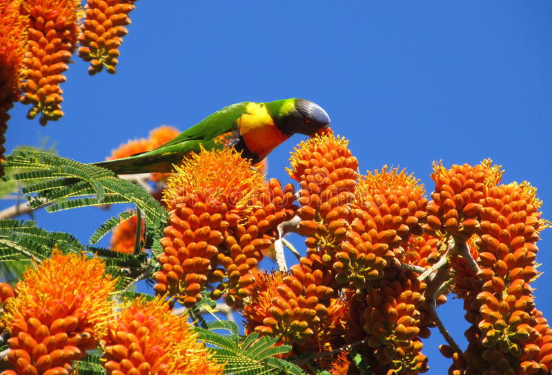 Download Poinciana With Rainbow Lorikeet Feeding Stock Photo - Image: 25219006
