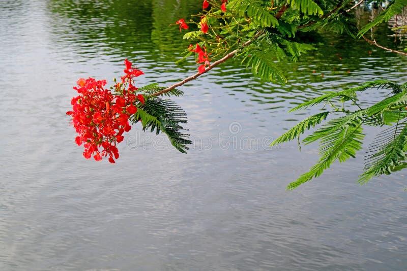 Poinciana royal rouge vibrant ou fleurs flamboyantes fleurissant contre le lac photographie stock