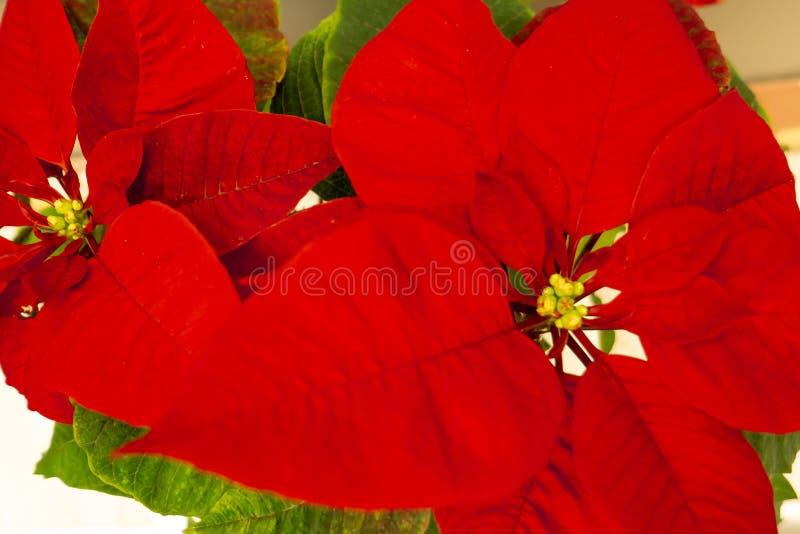 Poinsétia bonita no vaso de flores Flor vermelha do Natal na soleira Estrela do Natal Flores da planta interna foto de stock royalty free