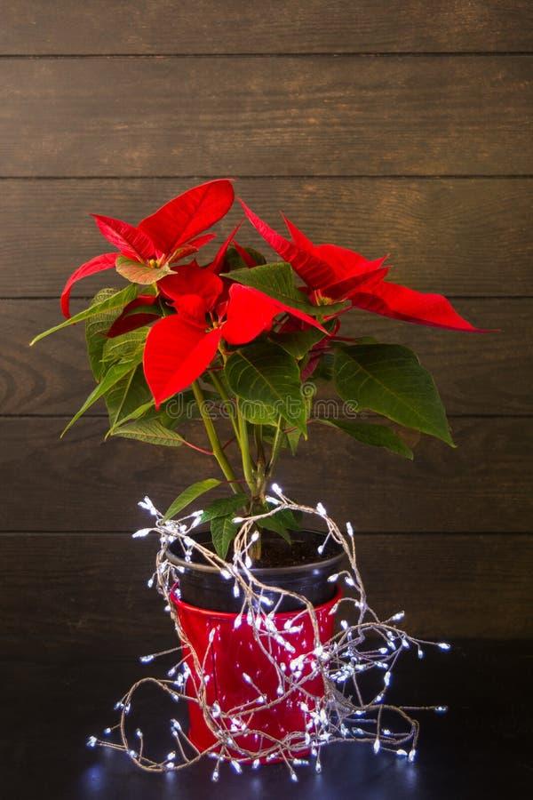 Poinsétia da flor da estrela do Natal no potenciômetro vermelho com a festão no fundo de madeira imagens de stock royalty free