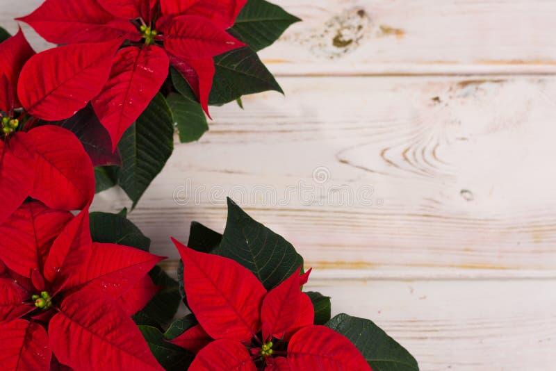 Poinsétia vermelha da flor do Natal da estrela no fundo de madeira rústico fotografia de stock
