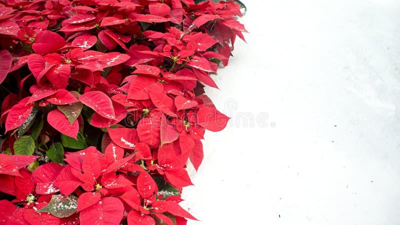 Poinsétias vermelhas na neve fotografia de stock royalty free
