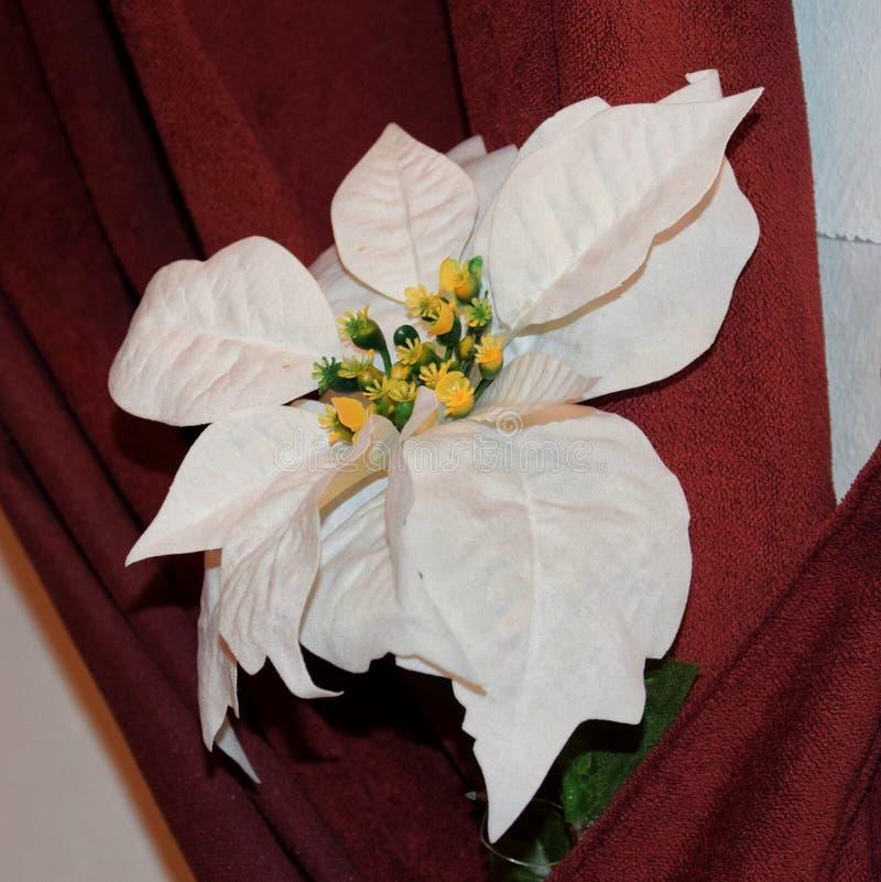 Poinsetia blanca imágenes de archivo libres de regalías