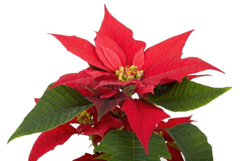 Poinsetia del rojo de la flor de la Navidad imagen de archivo libre de regalías