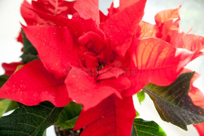 Poinsetia, euforbio, la estrella de Belén fotos de archivo