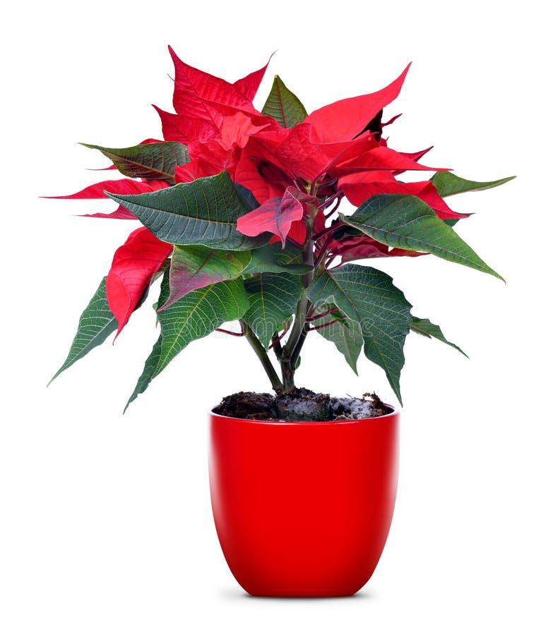 Poinsetia roja de la flor de la Navidad en maceta fotos de archivo libres de regalías