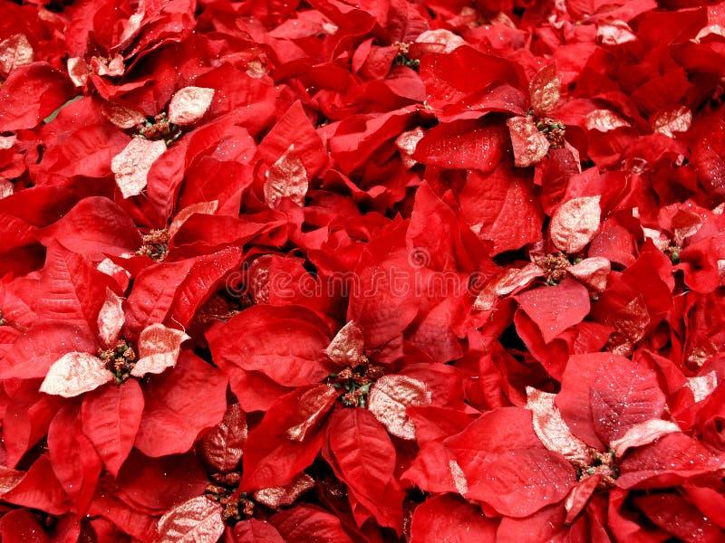Poinsettas rossi immagine stock