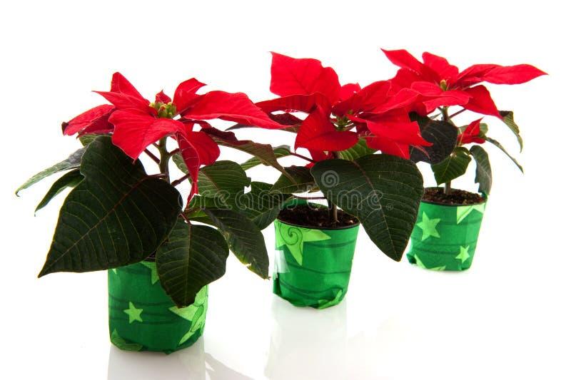 Poinsettia lizenzfreies stockfoto
