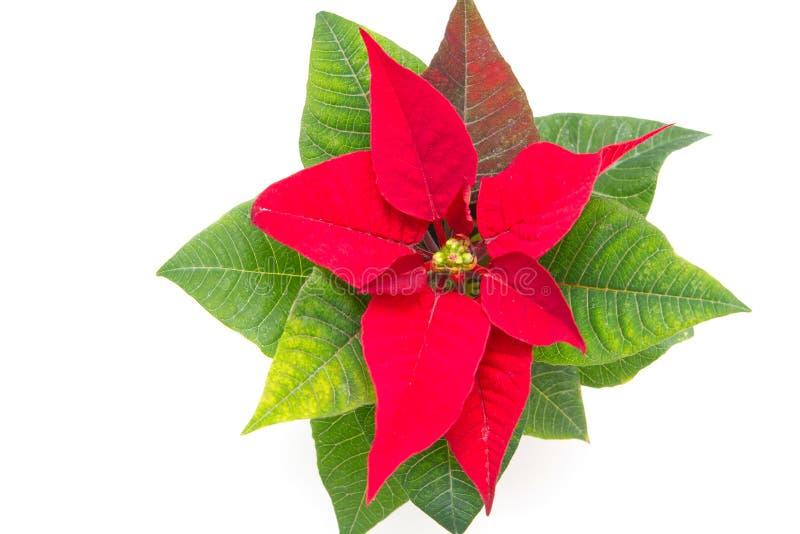 Download Poinsettia στοκ εικόνες. εικόνα από λουλούδι, εποχή, άδεια - 17054170