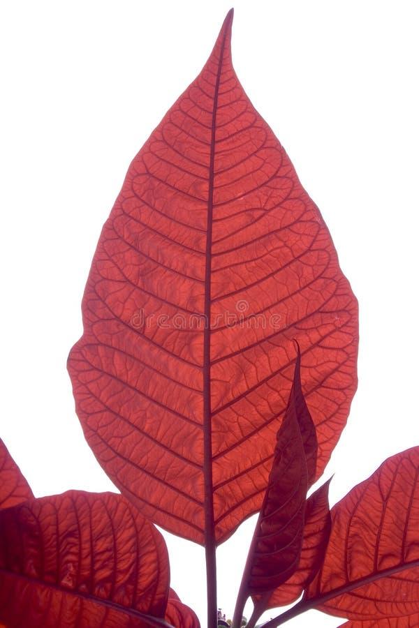 Poinsettia 3 photographie stock libre de droits