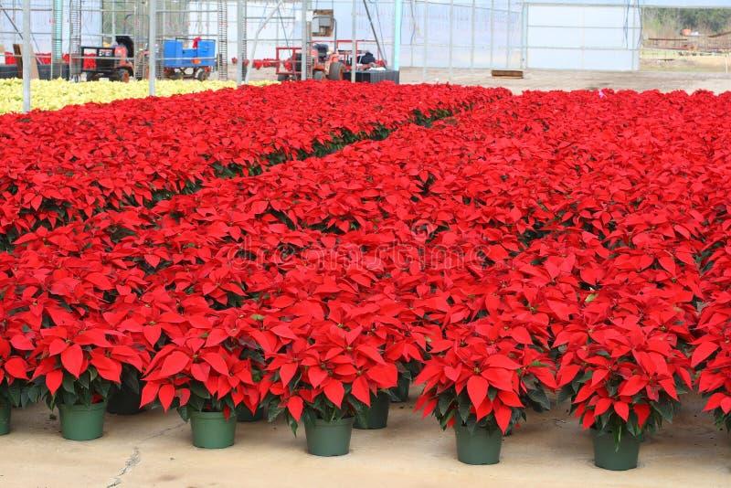 Poinsettia stock foto's
