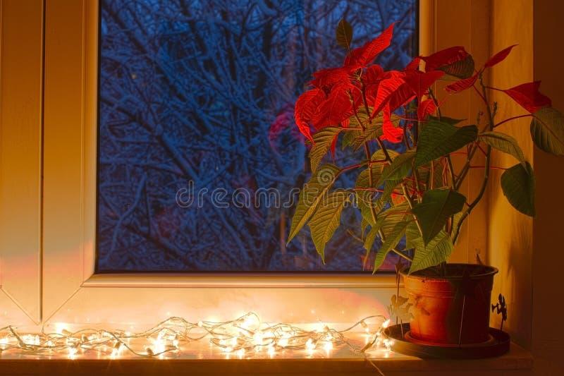 Poinsettia стоковое изображение rf