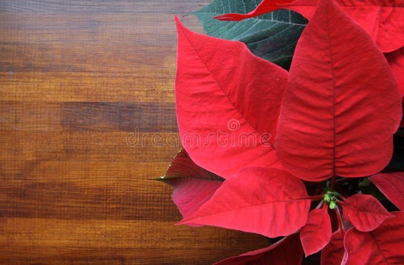 Download Poinsettia immagine stock. Immagine di stagionale, occasione - 3881987