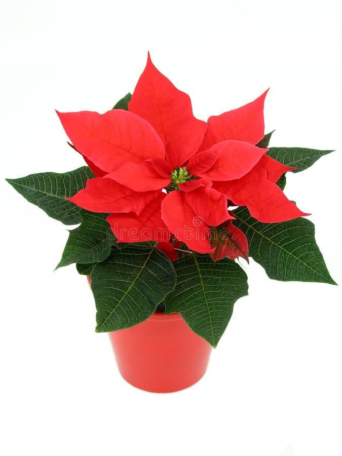 Poinsettia immagine stock