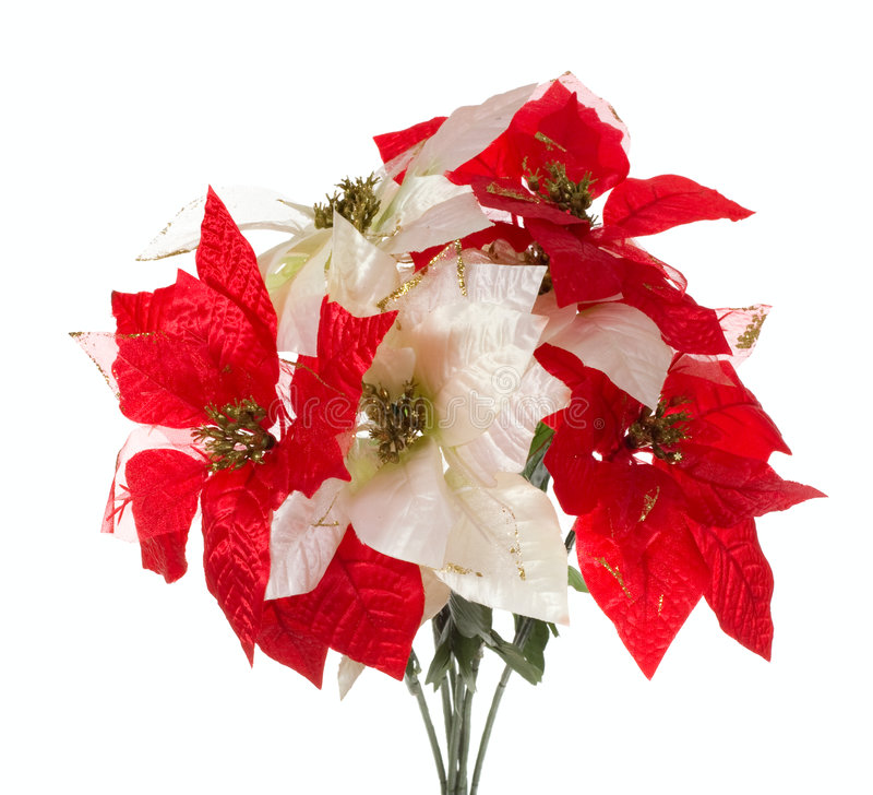Poinsettia fotografia de stock