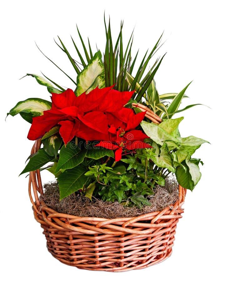 Confezioni Piante Natalizie : Poinsettia arrangement stock image of holidays