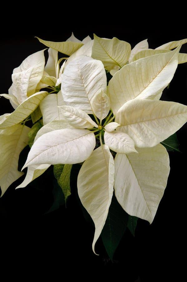 Poinsettia branco no fundo preto imagem de stock