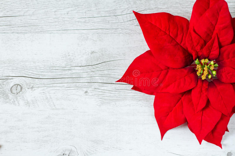 Poinsettia Christmas flower. Christmas background with Poinsettia flower on traditional white wood background stock photography